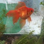 金魚を育てるにはゼオライトは金魚の水槽に効果があるの?