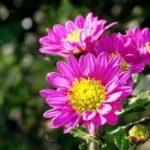 11月誕生花の花言葉や11月誕生石の宝石言葉や意味はご存知ですか